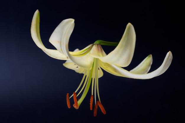 Elegante cremefarbene oder weiße lilie (lanzenlilie) nahaufnahme auf einem dunkelschwarzen hintergrund. ein minimalistisches foto für ein poster.