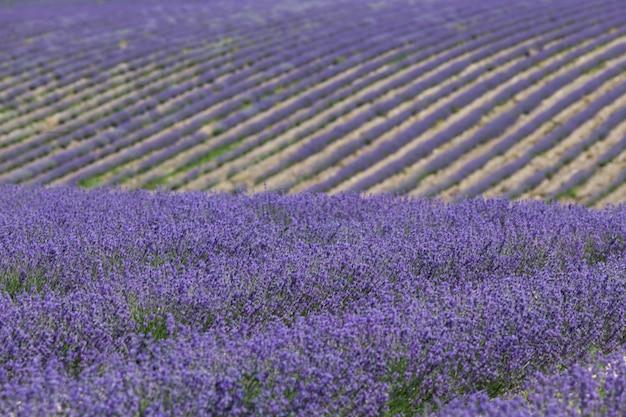 Elegante schönheit des lavendelfeldes. glatte blumenreihen auf einem hügel in der perspektive. selektiver fokus, gestaltungselement.