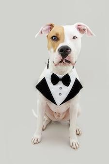 Eleganter und ernster amerikanischer staffordshire-hund, der die kamera betrachtet. isoliert auf grauem hintergrund feiert valentinstag oder geburtstag