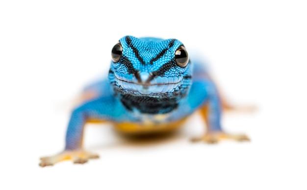 Elektrischer blauer gecko, lygodactylus williamsi, isoliert