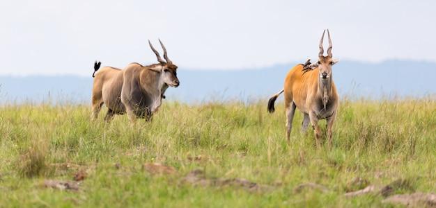 Elend antilope in der kenianischen savanne zwischen den verschiedenen pflanzen