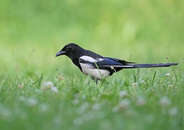 Elster geht durch dichtes grünes gras auf der suche nach nahrung. nahaufnahme helles foto