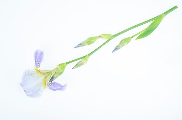 Empfindliche blaue blume der garteniris auf weißem hintergrund. studiofoto.