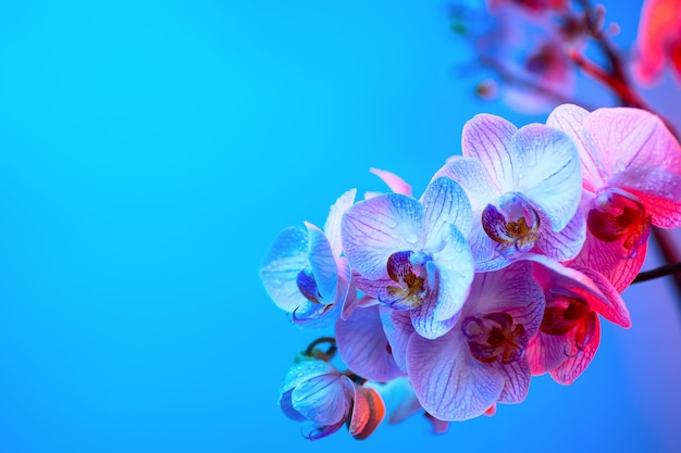 Empfindliche rosa orchidee mit tautropfennahaufnahme auf hellblauem hintergrund
