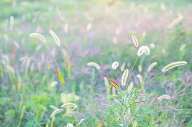 Empfindlicher unscharfer hintergrund des grünen grases mit ährchensommerschablone für text