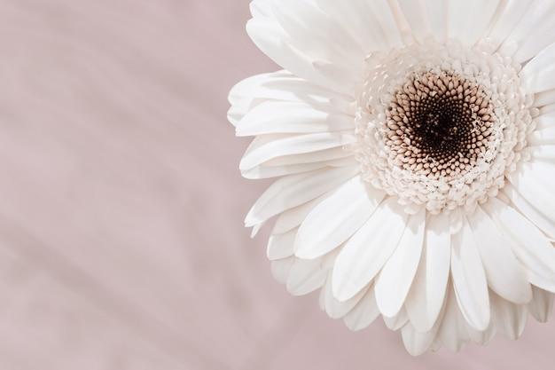 Empfindlicher weißer gerberablumenabschluß oben auf cremefarbenem hintergrund. natürliche blumige grußkarte, fahne für websate über natur- oder umweltkonzept