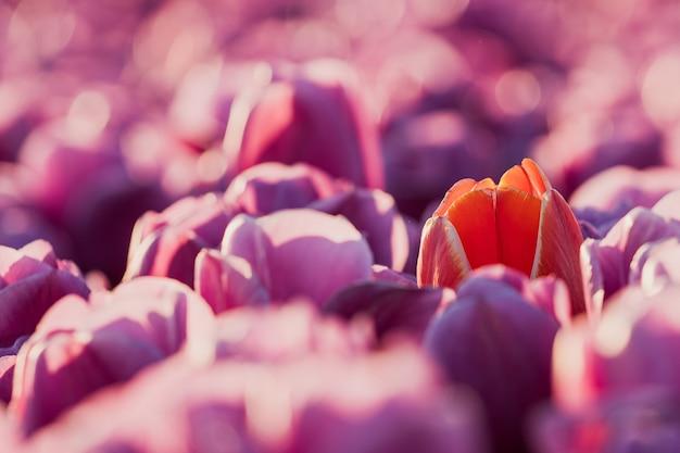 Ende april bis anfang mai blühten die tulpenfelder in den niederlanden farbenfroh auf. glücklicherweise gibt es hunderte von blumenfeldern in der niederländischen landschaft, die Kostenlose Fotos