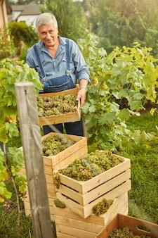 Engagierter weinbergsarbeiter organisiert stapel von holzkisten voller reifer weißer trauben grape
