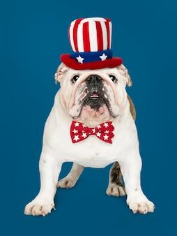 Englische bulldogge aus den usa