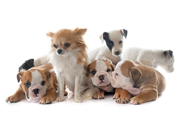 Englische bulldogge der welpen und jack-russell-terrier