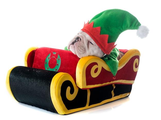 Englische bulldogge des weihnachtswelpen