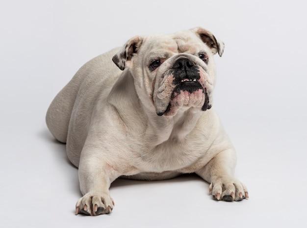 Englische bulldogge, die vor einer weißen wand liegt