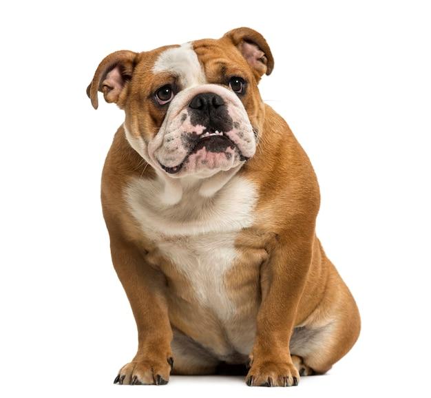 Englische bulldogge, die zähne zeigt, die lokal auf weiß sitzen