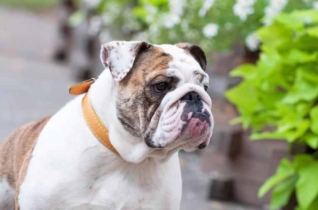 Englische bulldogge im park