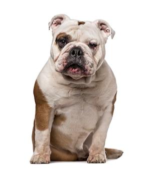 Englische bulldogge lokalisiert auf weiß