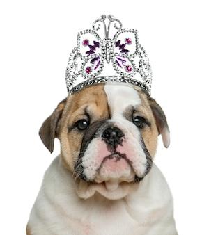 Englischer bulldoggenwelpe, der ein diadem vor der weißen wand trägt