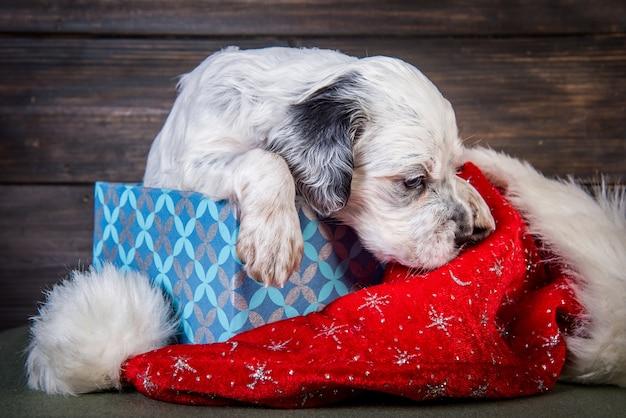 Englischer setter hündchen mit weihnachtsmannhut in geschenkbox. weihnachtshintergrund
