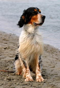 Englischer setterhund