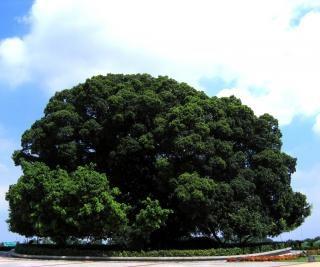 Enorme banyanbaum