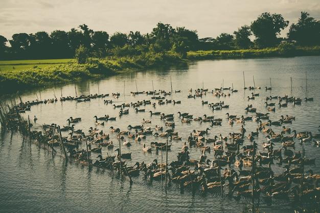 Ente auf dem bauernhof, esse und schwimme im sumpf