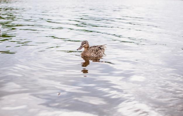 Ente, die im teichwasser schwimmt