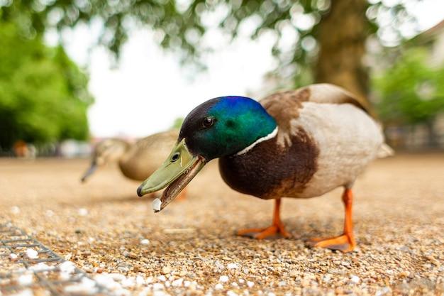 Ente, die in einem stadtpark lebt. entenporträt.