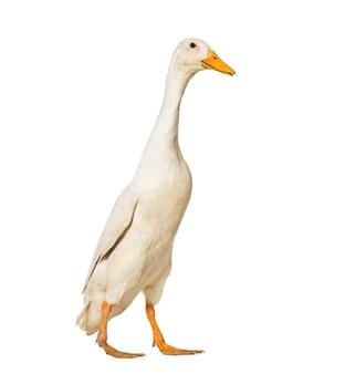 Ente geht gegen weiß
