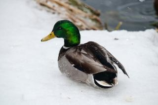 Ente im winter