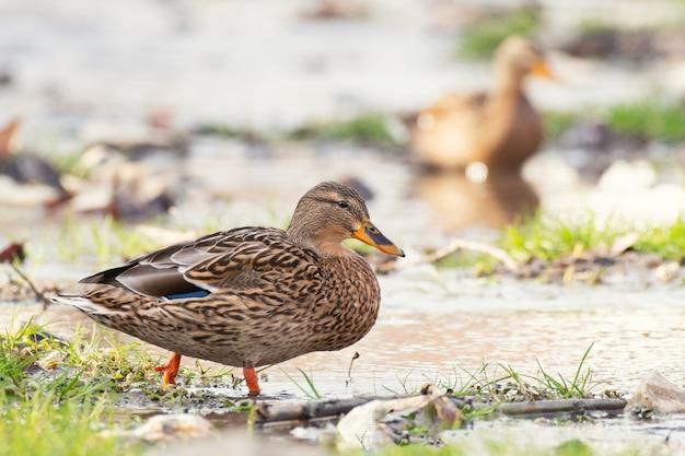 Ente mit zwei stockenten auf einer schönen wasseroberfläche. anas platyrhynchos. weiblich.