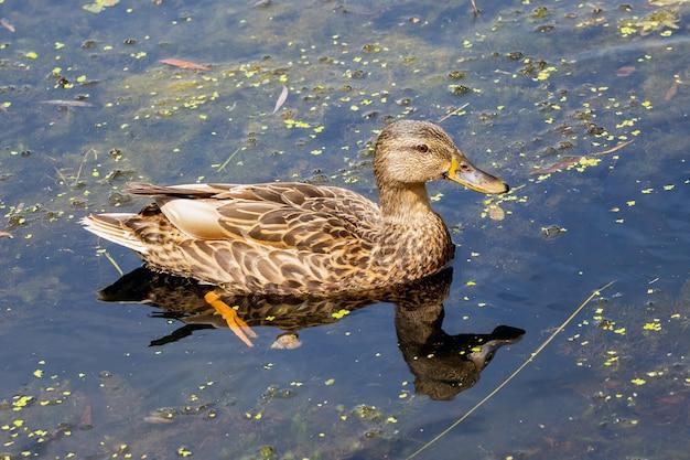 Ente schwimmt am dunklen wasser des flusses entlang