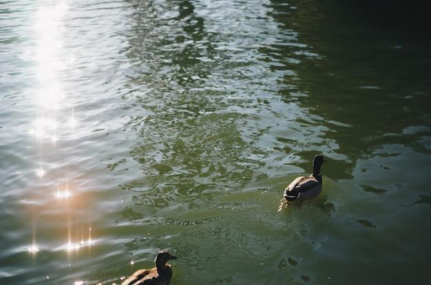 Ente schwimmt im wasser
