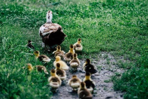 Ente und entlein, die um die menge des grünen grases laufen.