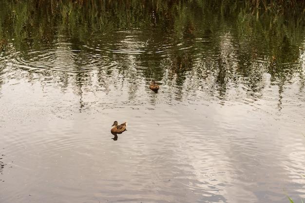 Enten auf dem teich im park. wildenten spiegeln sich im see. mehrfarbige federn von vögeln. ein teich mit enten und erpeln. entenfutter an der wasseroberfläche. enten fressen nahrung im wasser