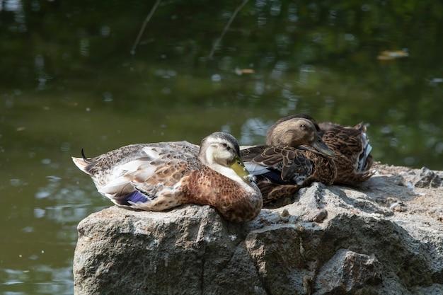 Enten, die auf einem felsen nahe see ruhen
