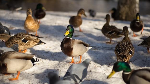 Enten, die auf frühlingsschnee gehen