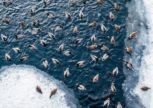 Enten, die auf winterteich schwimmen