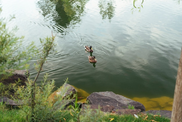 Enten, die in der draufsicht des sees schwimmen