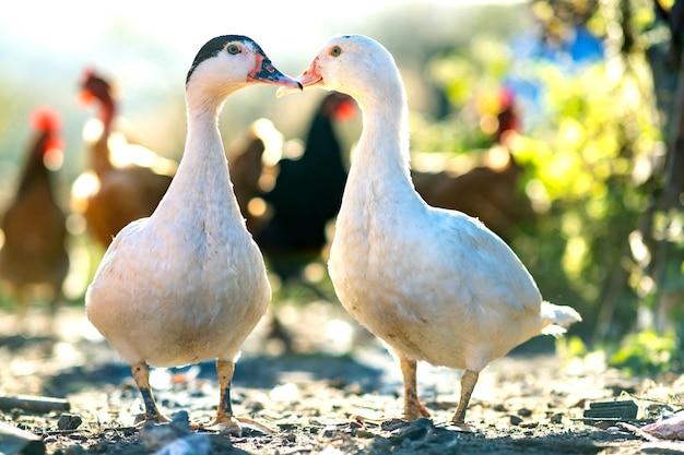 Enten ernähren sich von traditionellen ländlichen scheunen. detail eines entenkopfes. nahaufnahme von wasservogel, der auf scheunenhof steht. konzept der freilandhaltung von geflügel.