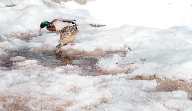 Enten gehen im winter im park spazieren und trinken wasser aus einer pfütze. vögel überwintern in russland. enten laufen im schnee