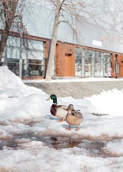 Enten gehen im winter im park spazieren. vögel überwintern in russland. enten laufen im schnee