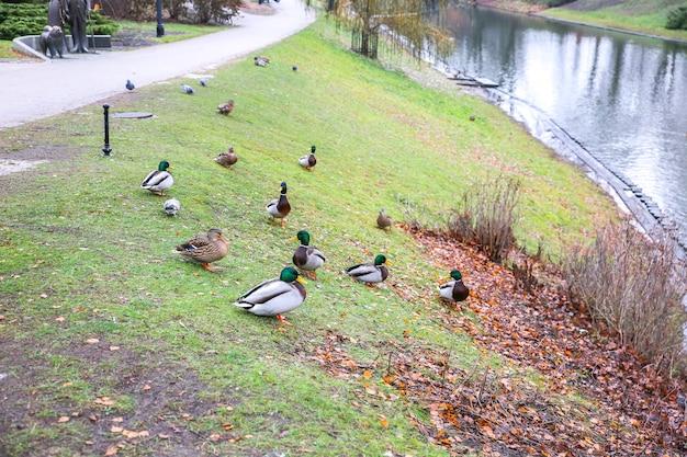 Enten im leeren park in der stadt.