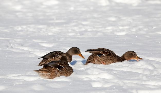 Enten im schnee