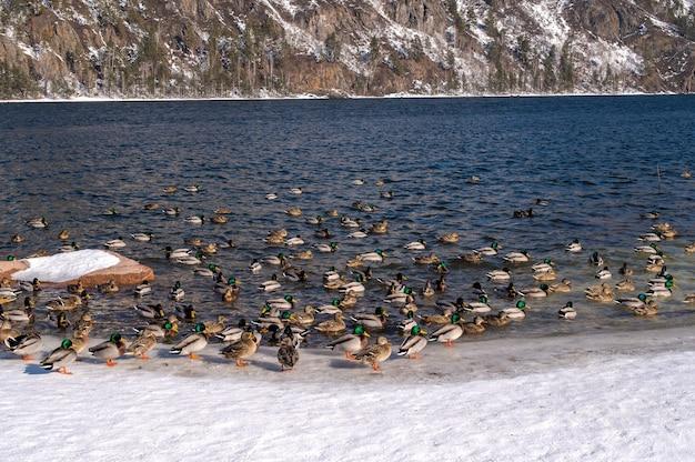 Enten im winterfluss. ein blick auf schneebedeckte berge. fluss- und gebirgszug