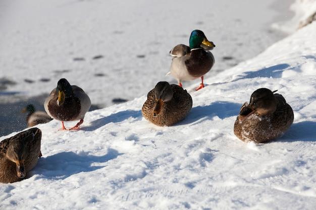 Enten leben in der stadt am fluss, im winter werden sie von menschen gefüttert