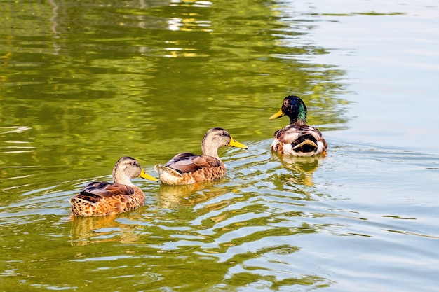 Enten schweben entlang eines flusses, in dem sich bäume spiegeln