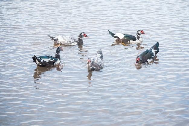 Enten schwimmen auf dem see