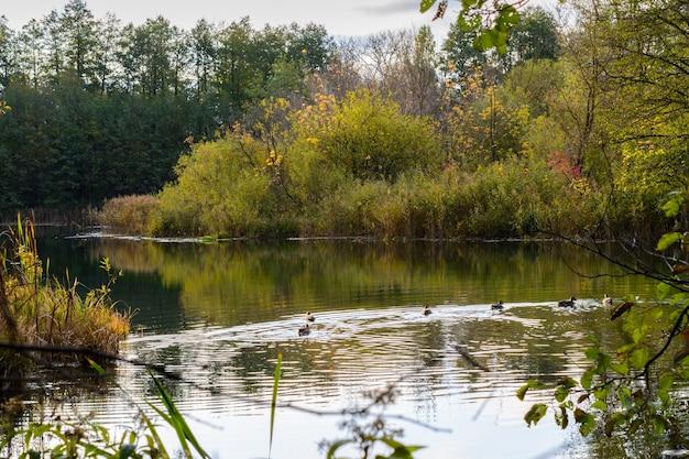 Enten schwimmen bei sonnenaufgang am frühen morgen auf dem blauen see in kasan. russland. der sonnenaufgang, schilf, gras, bäume und türkisfarbener see.