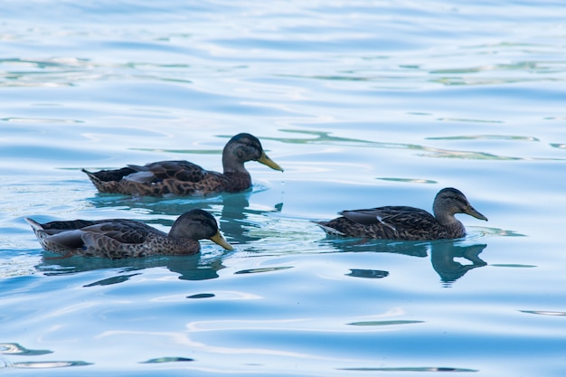 Enten schwimmen im fluss mit sauberem blauem wasser