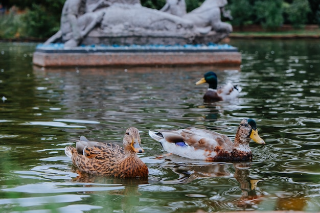 Enten schwimmen im fluss. tiefenschärfe