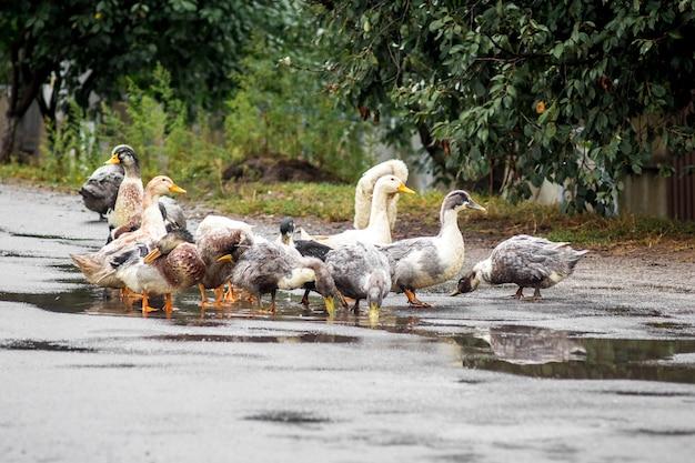 Enten schwimmen nach regen in der pfütze